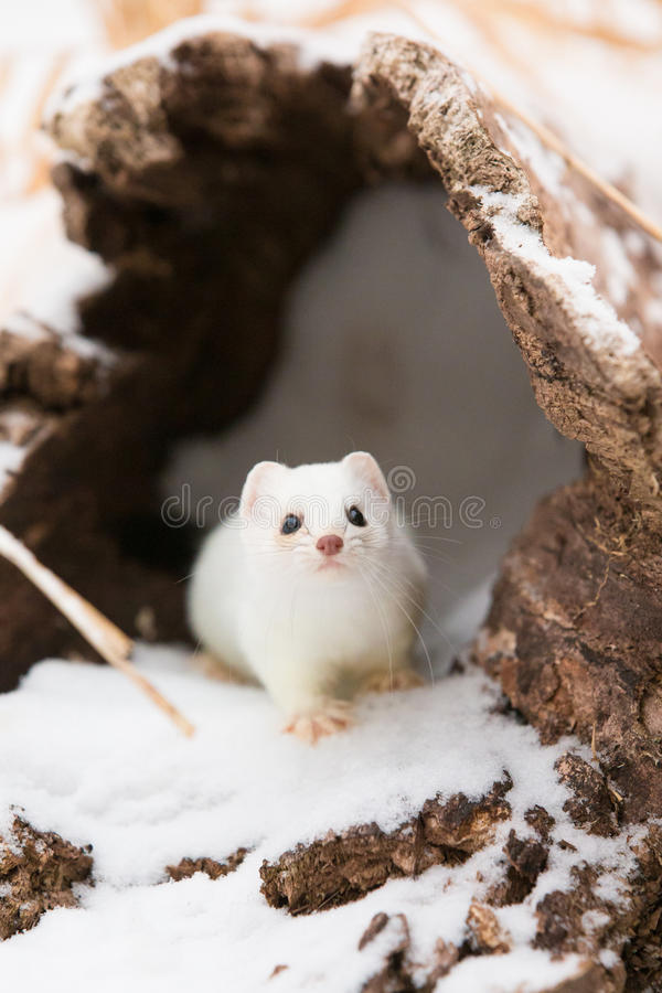 Free Short Tail Weasel Exiting His Den Stock Images - 85083904