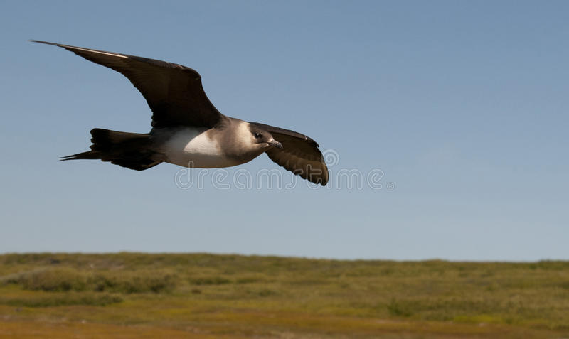 Short-tailed skua royalty free stock photography