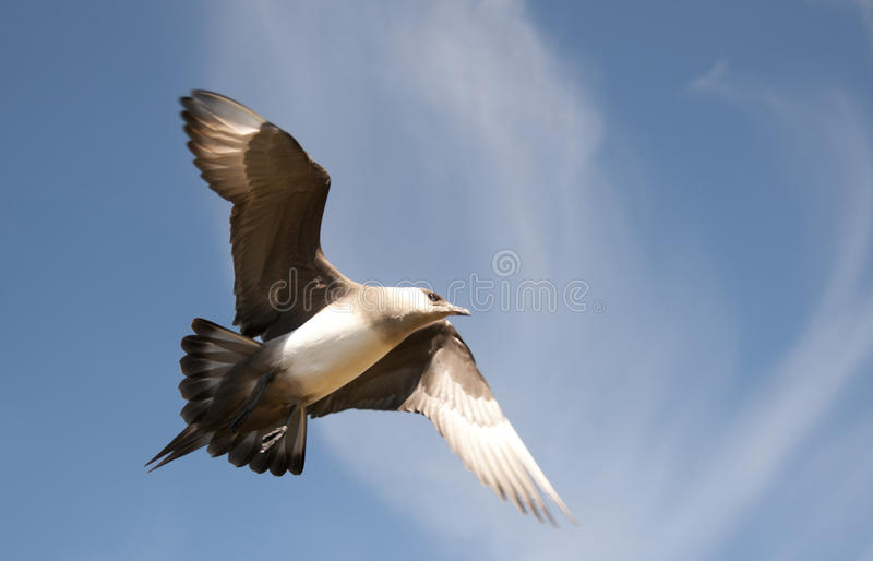 Short-tailed skua royalty free stock photo
