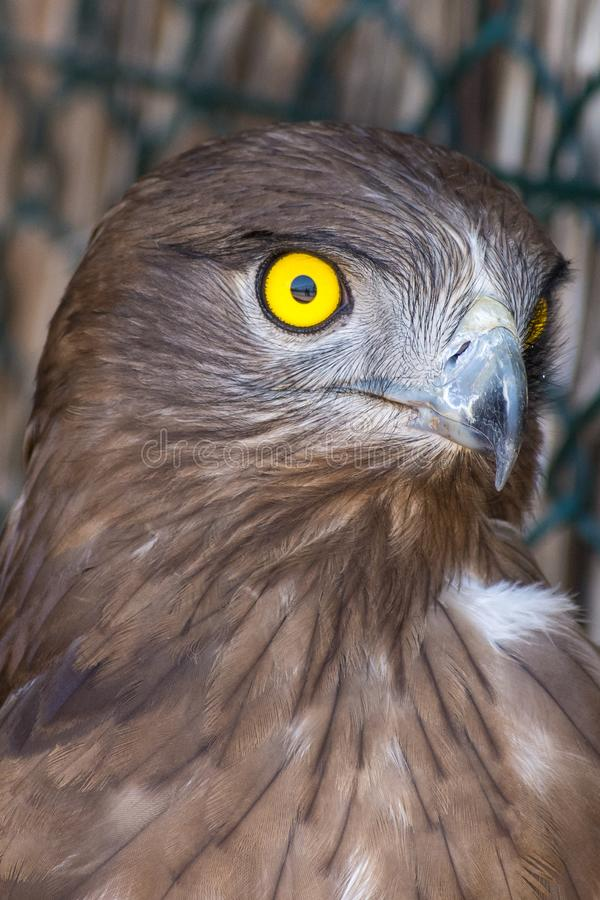 The short-toed snake eagle Circaetus gallicus, also known as short-toed eagle close up showing off crisp, clear, yellow eye. and stock photo