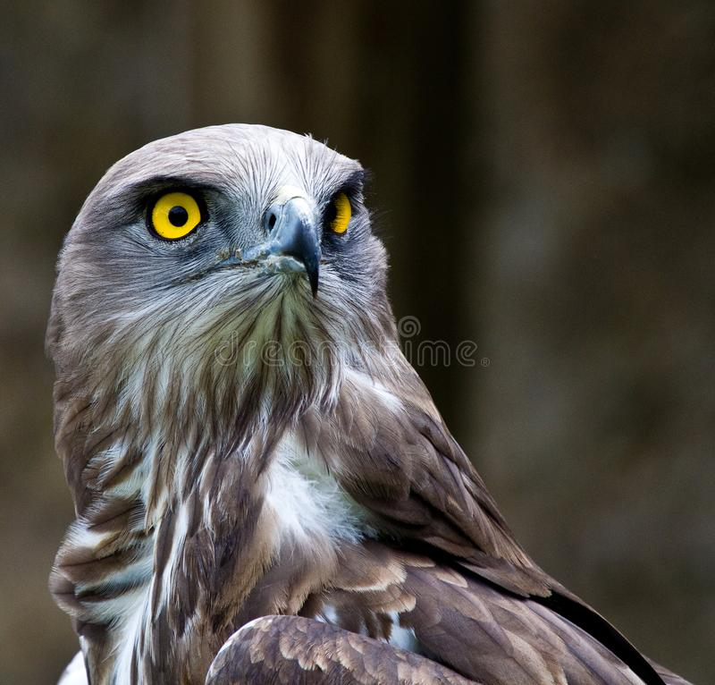 Short-toed snake eagle, circaetus gallicus also known as short-toed eagle. The Short-toed snake eagle, circaetus gallicus also known as short-toed eagle, is a stock photo
