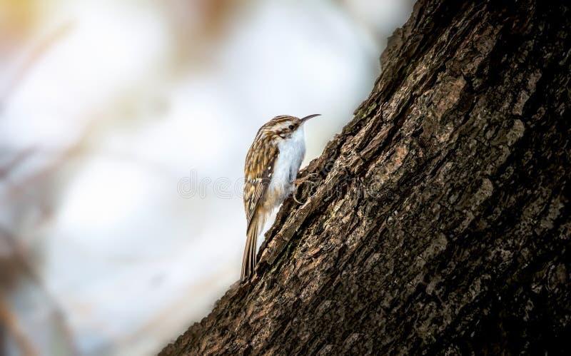 Short-toed Treecreeper - Certhia brachydactyla .Bird sitting on a branch.Bird of Europe royalty free stock photography