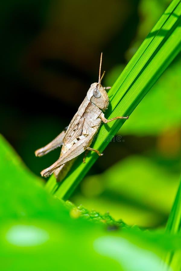 Download Short-Winged Green Grasshopper Female Stock Image - Image: 26060757