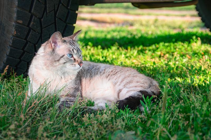 Shorthair猫在轮子旁边的草在汽车下 画象猫从太阳掩藏了在树荫 土气的生活仍然 库存照片
