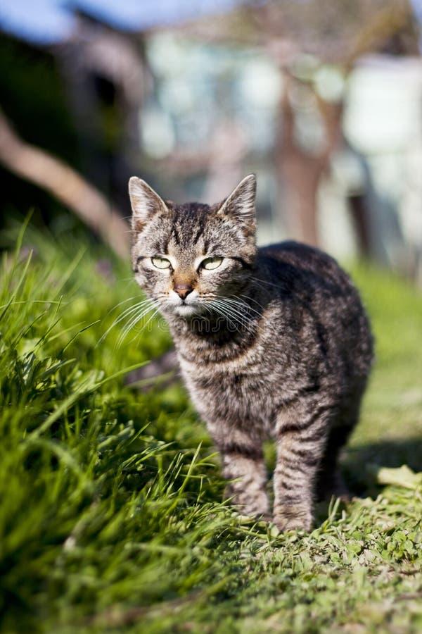 shorthair европейца кота стоковое изображение rf
