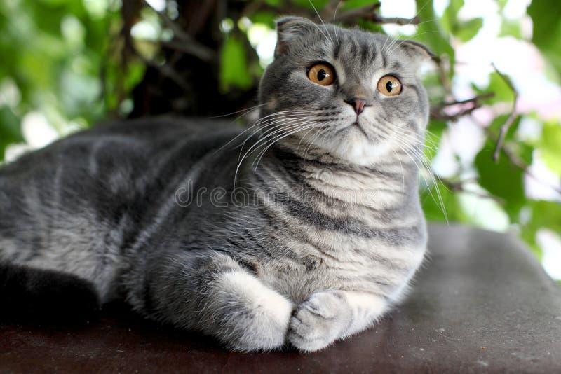 Серый цвет великобританское Shorthair Портрет великобританского кота Shorthair лежа на зеленой предпосылке стоковое фото rf