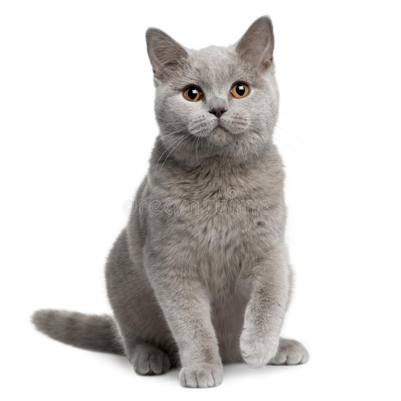 shorthair 7 великобританских месяцев кота старое стоковое фото rf