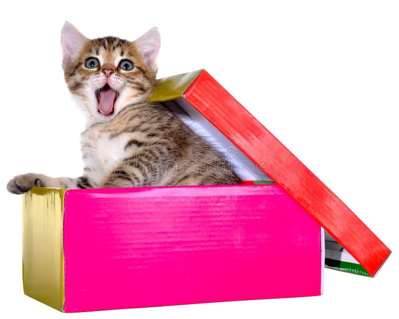 Shorthair brindled figlarka chująca w pięknym prezenta pudełku odizolowywa zdjęcie stock