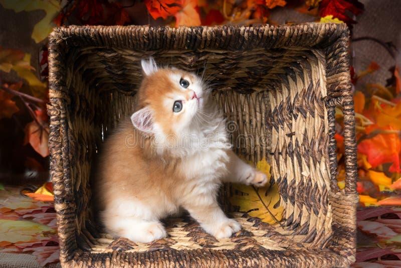 Shorthair británico de la raza juguetona del gatito en una cesta en un fondo de las hojas de otoño fotografía de archivo libre de regalías