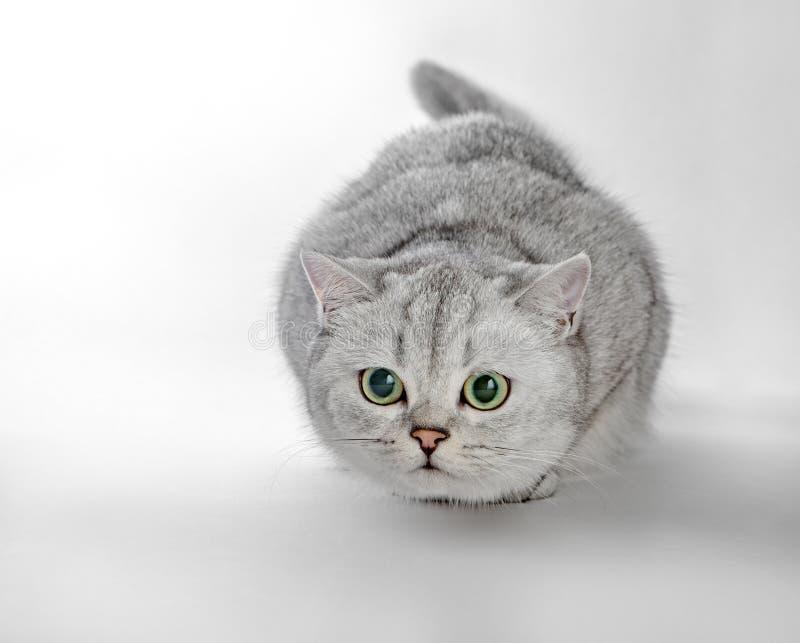 Shorthair británico gris Retrato del gato británico de Shorthair que miente en un fondo gris fotografía de archivo libre de regalías