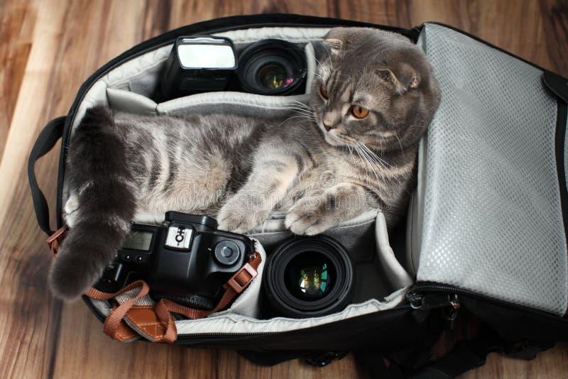Shorthair británico un gato en un bolso de la foto fotos de archivo