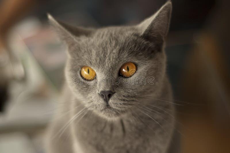 Shorthair britannico adorabile fotografie stock