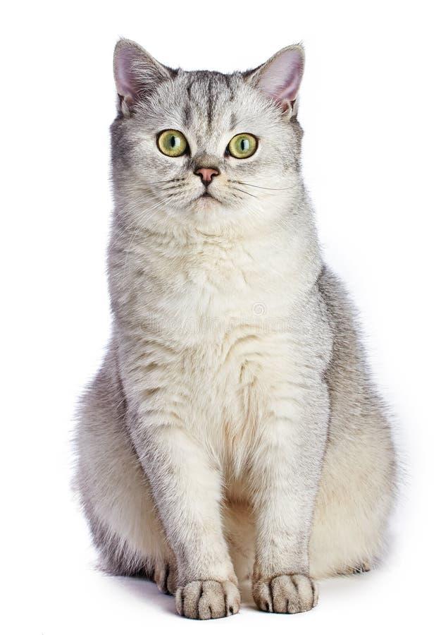 Shorthair britannico grigio fotografie stock