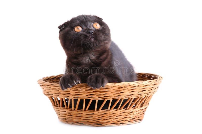 Shorthair de británicos del gato negro con los ojos amarillos en cesta en el fondo blanco foto de archivo
