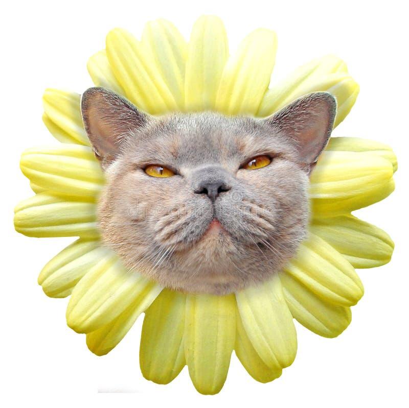 Shorthair di razza dei petali del fronte del gatto del fiore della margherita immagini stock