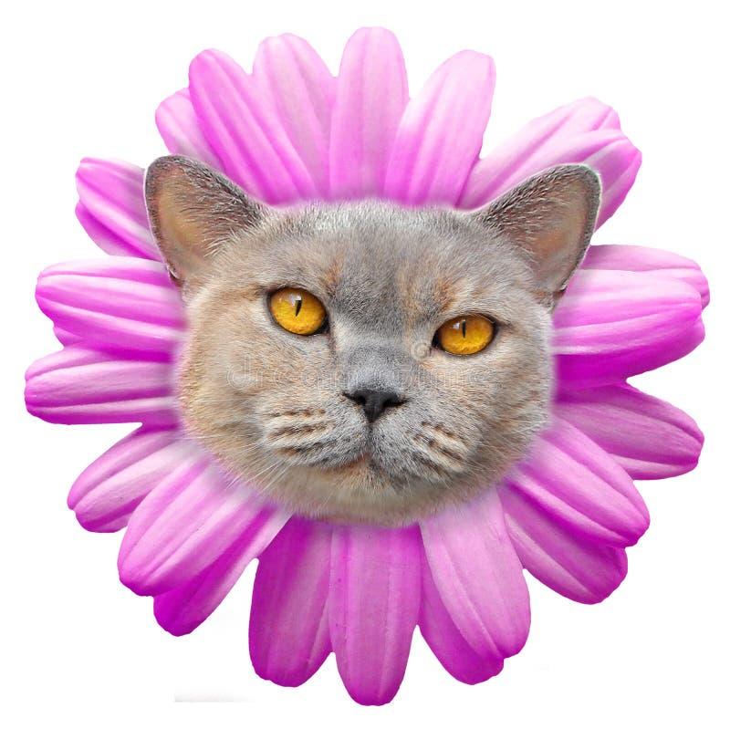 Shorthair di razza dei petali del fronte del gatto del fiore della margherita fotografie stock