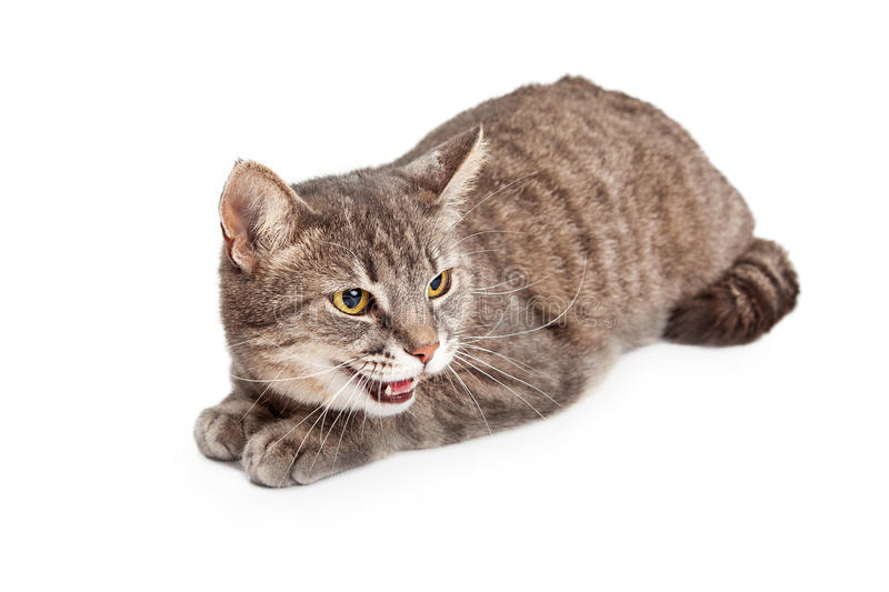 Shorthair doméstico Tabby Cat With Open Mouth imagens de stock royalty free