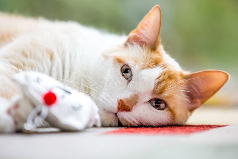 Shorthair domestico che esamina un giocattolo del gatto fotografia stock libera da diritti
