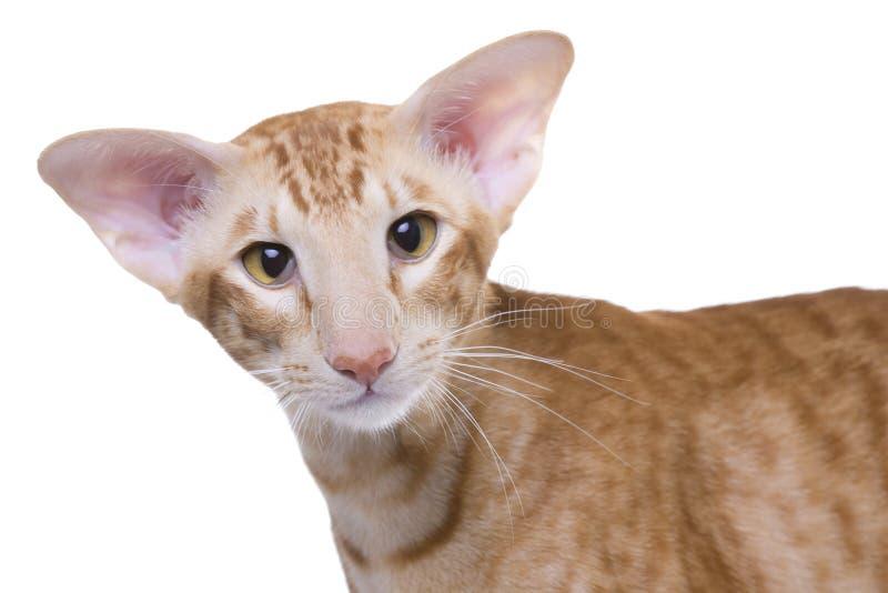 shorthair exotique de verticale de chat photo stock