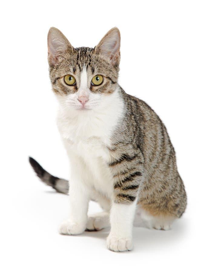Shorthair-getigerte Katze und Weiß Cat Sitting Looking Forward stockfoto