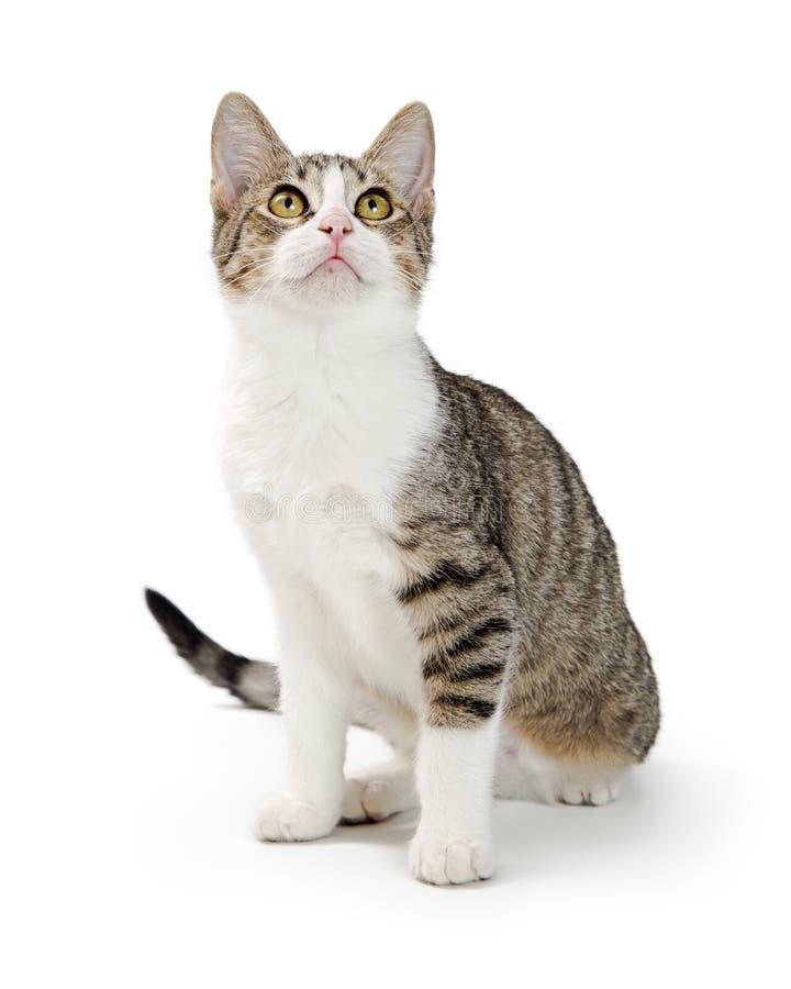 Shorthair-getigerte Katze und Weiß Cat Sitting Looking Up lizenzfreie stockfotografie