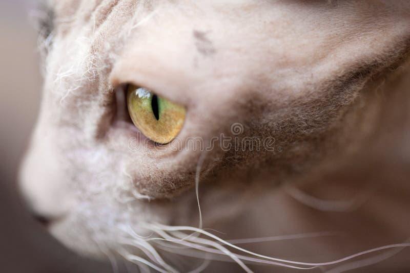 Shorthair katt som bort ser arkivfoto