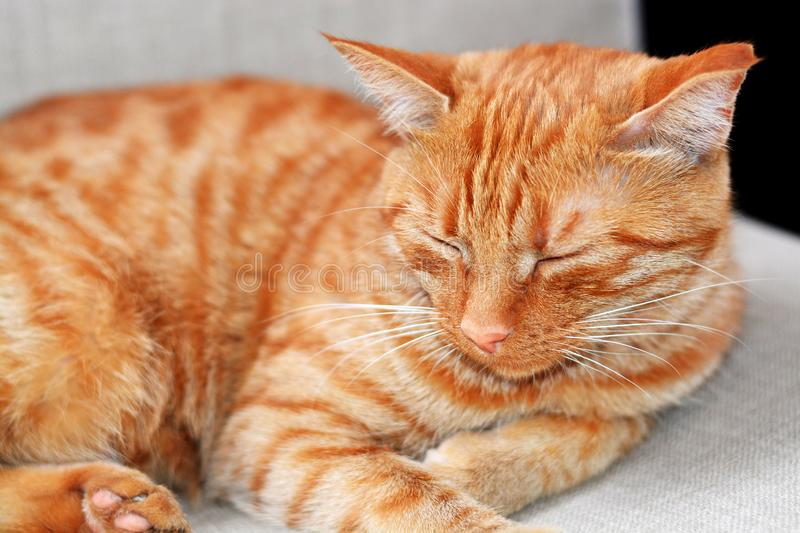 Shorthair red-haired striped beautiful cat lies on a beige chair at home on a summer day and sleeps. Horizontal photo. The focus is on the cat`s face, the royalty free stock photo