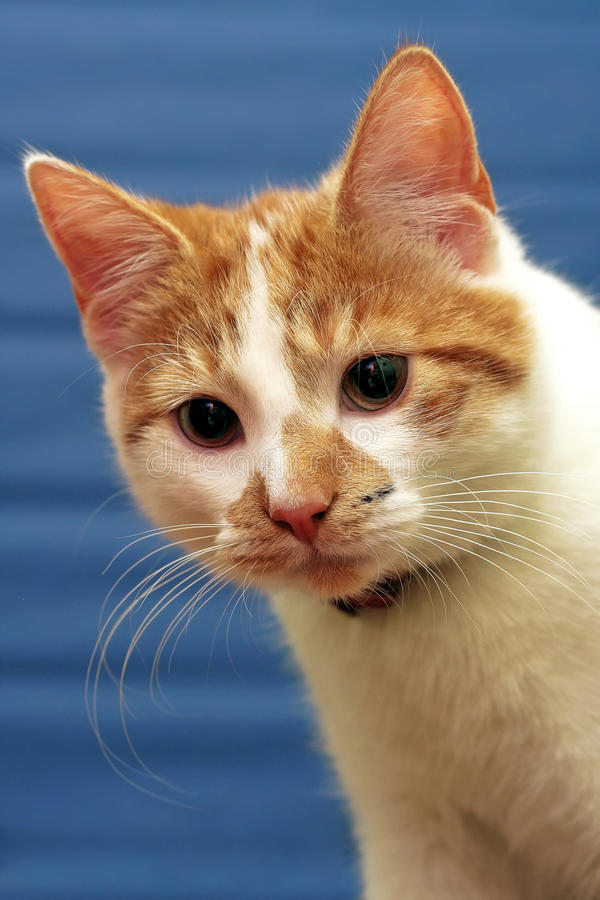 Shorthair Red-white Cat Royalty Free Stock Image