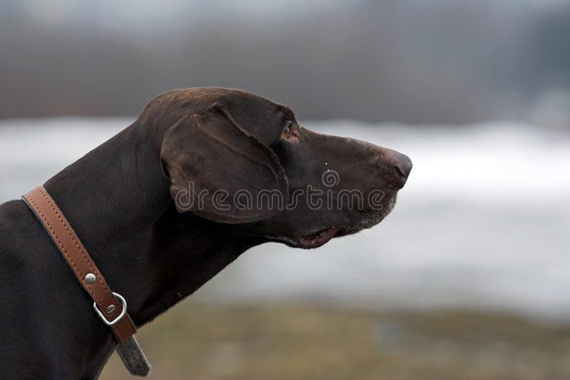 Shorthaired german pointer royalty free stock image