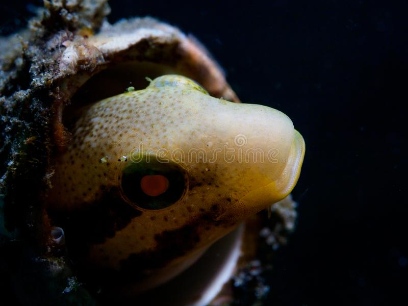 Shorthead sabretooth blenny, Petroscirtes breviceps. Scuba diving in North Sulawesi, Indonesia. Shorthead sabretooth blenny, Petroscirtes breviceps peering out stock photos