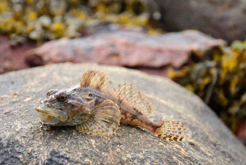 Download Shorthorn sculpin fish stock image. Image of bottom, sharp - 25633643