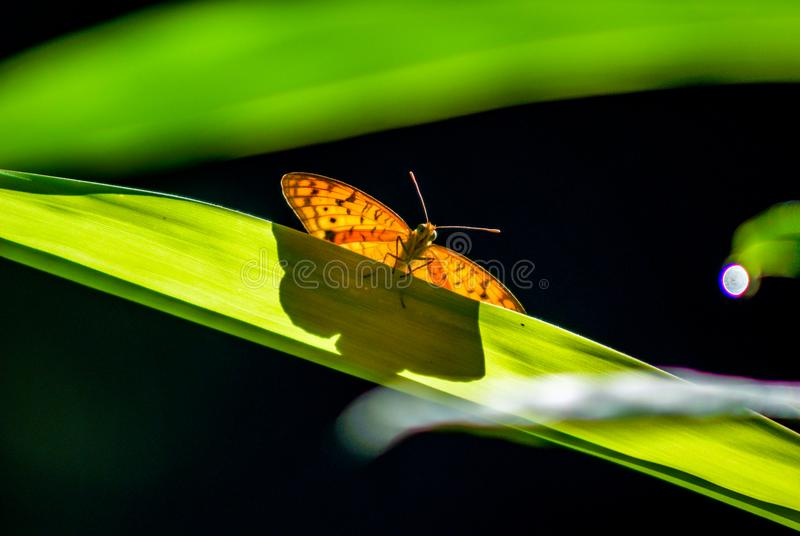 Shot of a butterfly on a long leaf with a green background. Insect animal : shot of a butterfly on a long leaf with a green background. Natural light in sunny stock images
