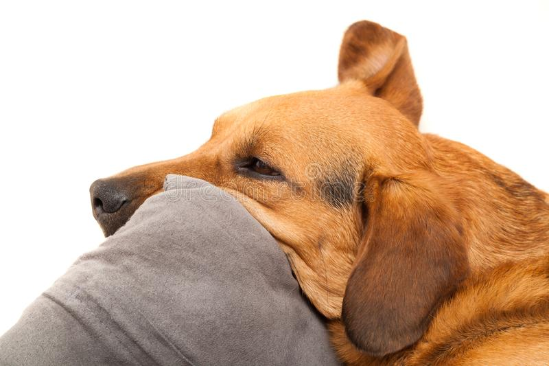 Cute dog sleeping on the pillow. Shot of cute dog sleeping on the pillow royalty free stock image