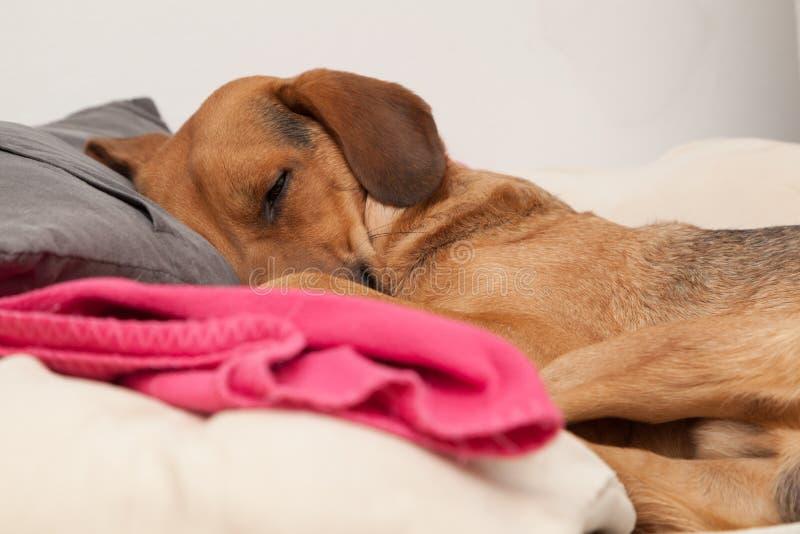 Cute dog sleeping on a pillow. Shot of cute dog sleeping on a pillow royalty free stock photos