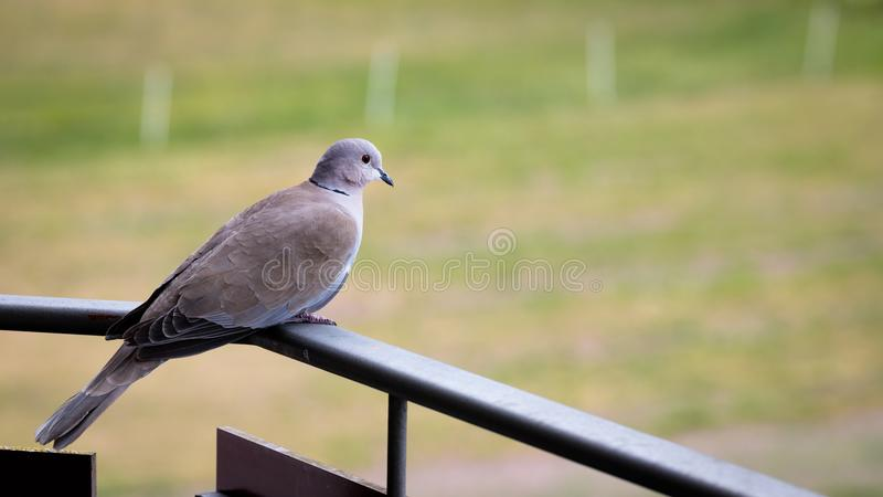Pigeon on the balcony. Shot in the early morning, a pigeon is perched on an upper floor balcony in Switzerland