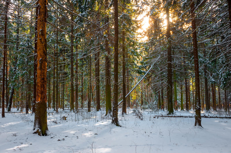 Shot of frosty spruce forest royalty free stock photo