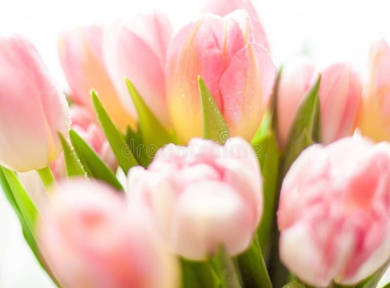 Download Shot Of Growing Pink Tulips Stock Photo - Image: 38906922