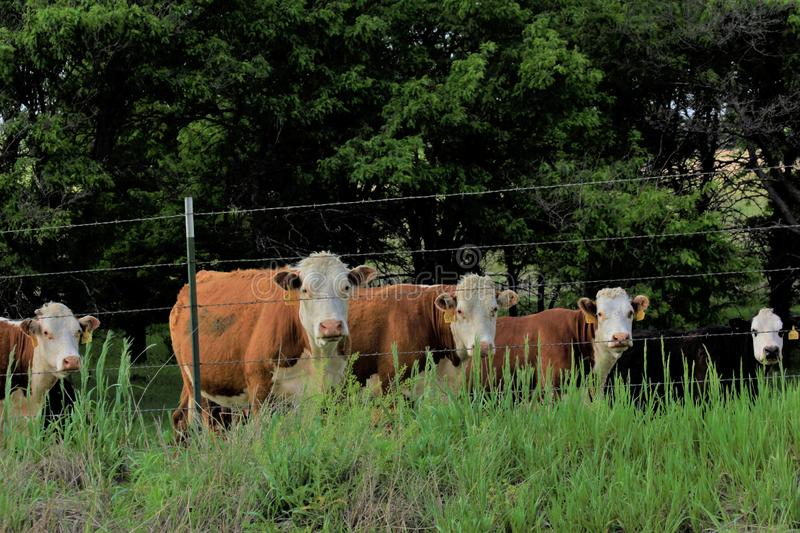 Kansas Hereford cows in a Pasture with green grass royalty free stock image