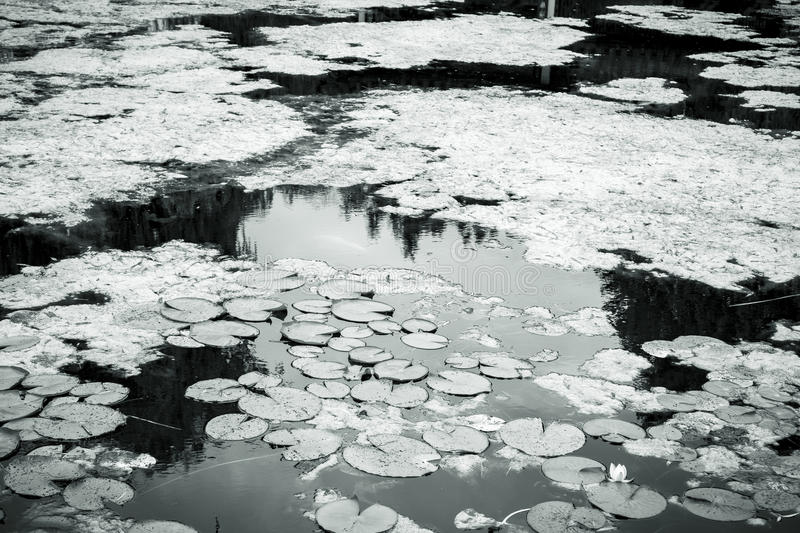 Shot of a lake with water lilies. Black and white shot of a lake with water lilies stock photos