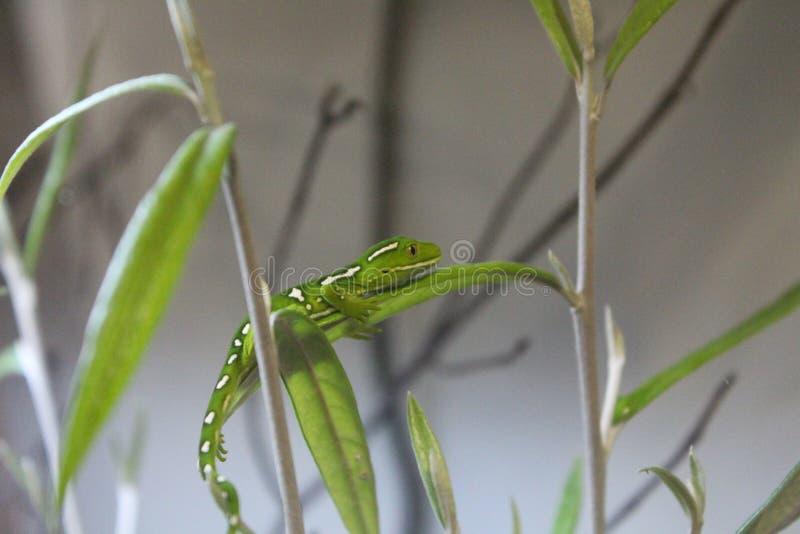 Shot of a lizard. Shot closeup of Green Lizard royalty free stock photo