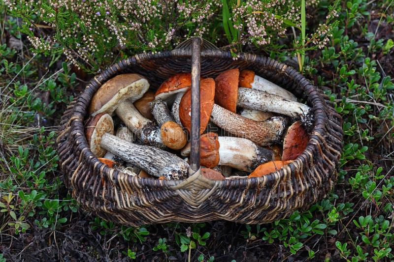 Lots of forest mushrooms like boletus edulis, red-caped scaber stalk, rough-stemmed or birch bolete in the wicker basket. Shot of Lots of forest mushrooms like royalty free stock image