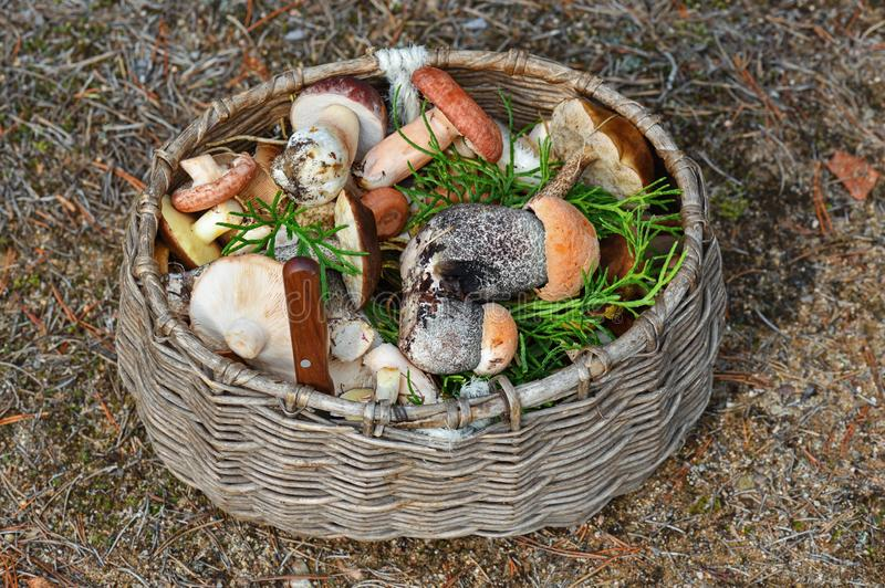 Lots of forest mushrooms like boletus edulis, red-caped scaber stalk, rough-stemmed or birch bolete in the wicker basket. Shot of Lots of forest mushrooms like stock photos