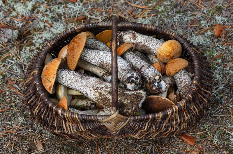 Lots of forest mushrooms like boletus edulis, red-caped scaber stalk, rough-stemmed or birch bolete in the wicker basket. Shot of Lots of forest mushrooms like royalty free stock photo