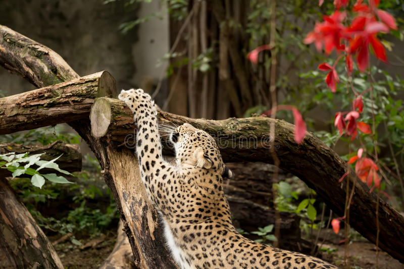 Shot of Persian leopard stock images