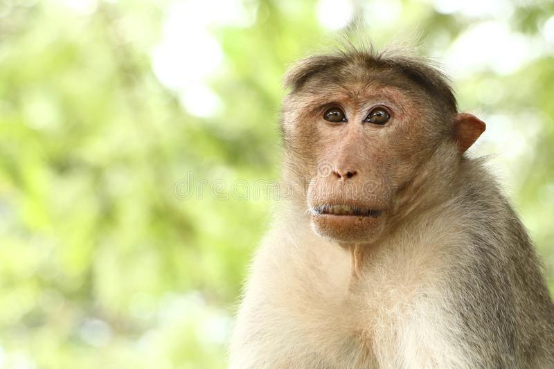 Middle aged Bonnet Macaque monkey stock photos