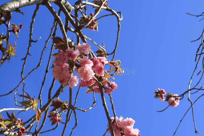 299 Cherry Tree Australia Photos Free Royalty Free Stock Photos From Dreamstime