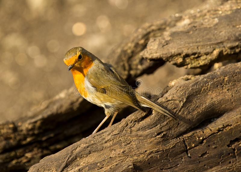 A robin redbreast bird perched on a tree stump. A shot of a robin redbreast bird perched on a branch in local woodlands royalty free stock images