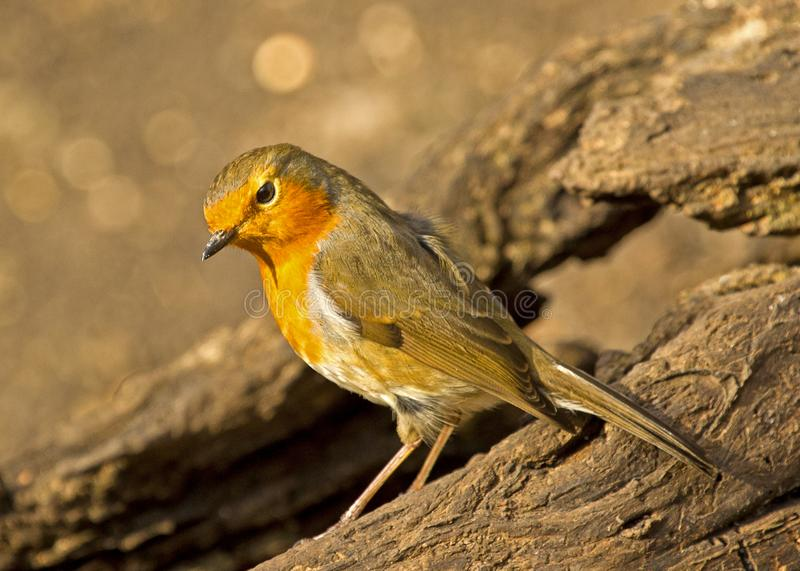 A robin redbreast bird perched on a tree stump. A shot of a robin redbreast bird perched a tree stump in local woodlands stock images
