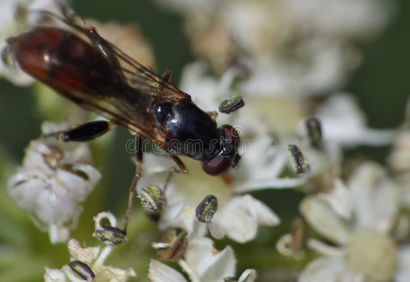 Shot of a small fly on a plant in the garden photo taken int he UK. Macro shot of a small fly on a plant in the garden photo taken int he UK royalty free stock images