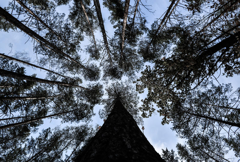 Shot of tall trees framing the sky in the middle. Pine trees tops vertical on blue sky backdround. The fall and pine trees tops vertical on blue sky. Pine royalty free stock photo